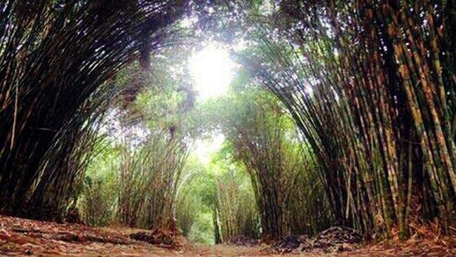 Hutan Bambu Sumber Mujur Lumajang, Potensi Wisata Terpendam