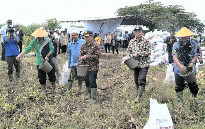 Bupati dan Wakil Bupati Situbondo saat menebar pupuk organik berstandar di Sawah Wabup H Yoyok Mulyadi,M.Si.(im)